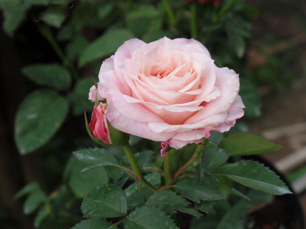 hoa hồng phấn 2019 1