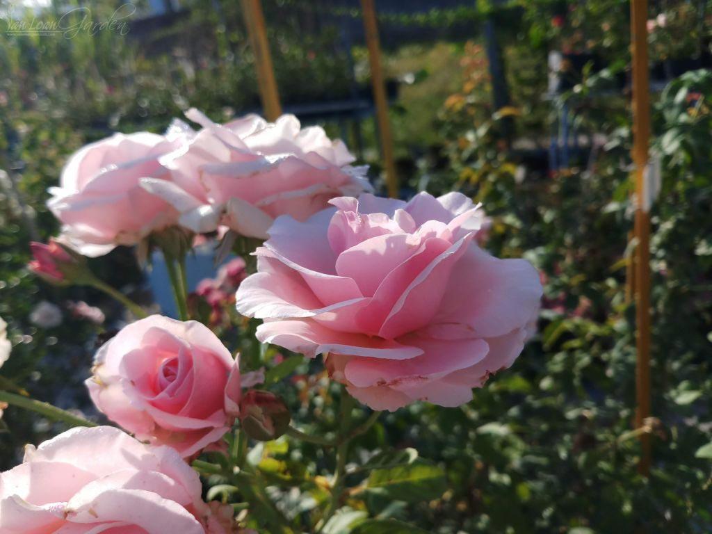 hoa hồng phấn 2019 2