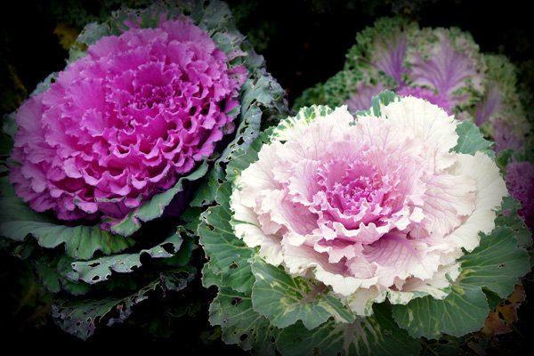 hoa hồng sa mạc đẹp nhất 2