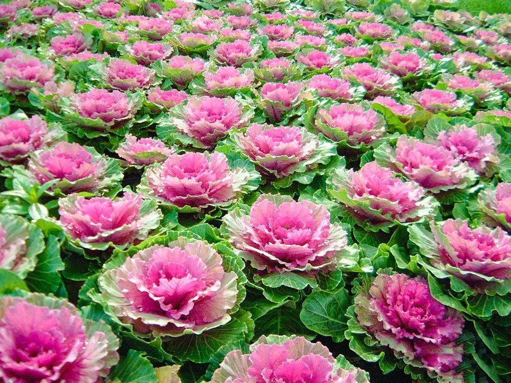 hoa hồng sa mạc đẹp nhất 2019 2