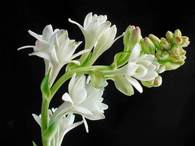 hoa huệ đẹp nhất 1