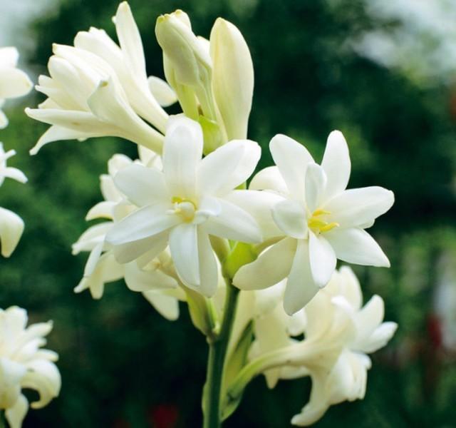 hoa huệ đẹp nhất 2