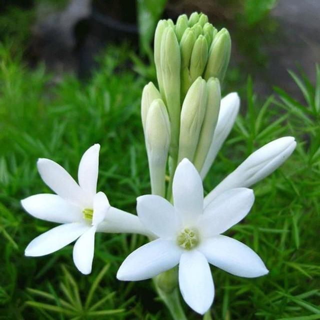 hoa huệ đẹp nhất 3