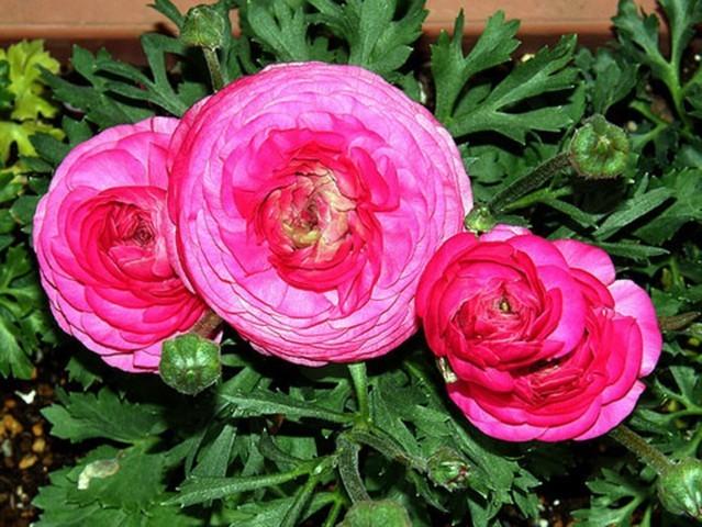 hoa mao lương hồng - đỏ 1