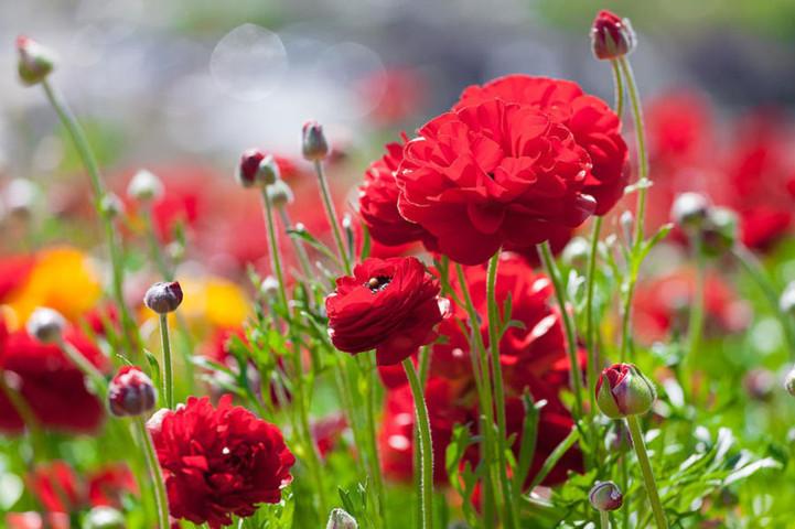 hoa mao lương hồng - đỏ 2