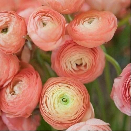 hoa mao lương hồng - đỏ 3