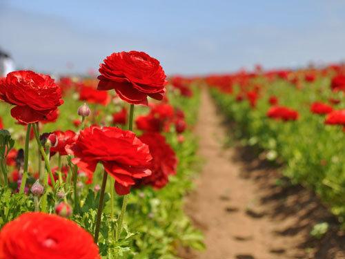 hoa mao lương hồng - đỏ 4