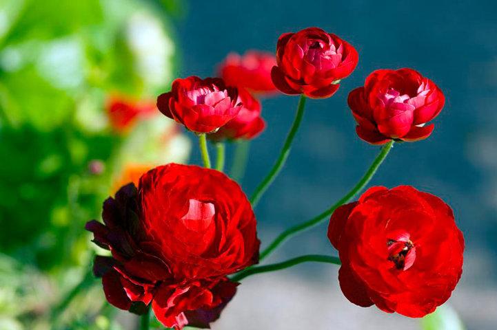 hoa mao lương hồng - đỏ 6