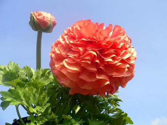 hoa mao lương hồng - đỏ 8