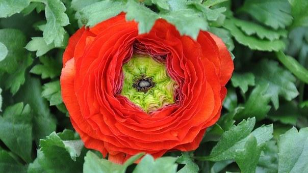 hoa mao lương hồng - đỏ 9