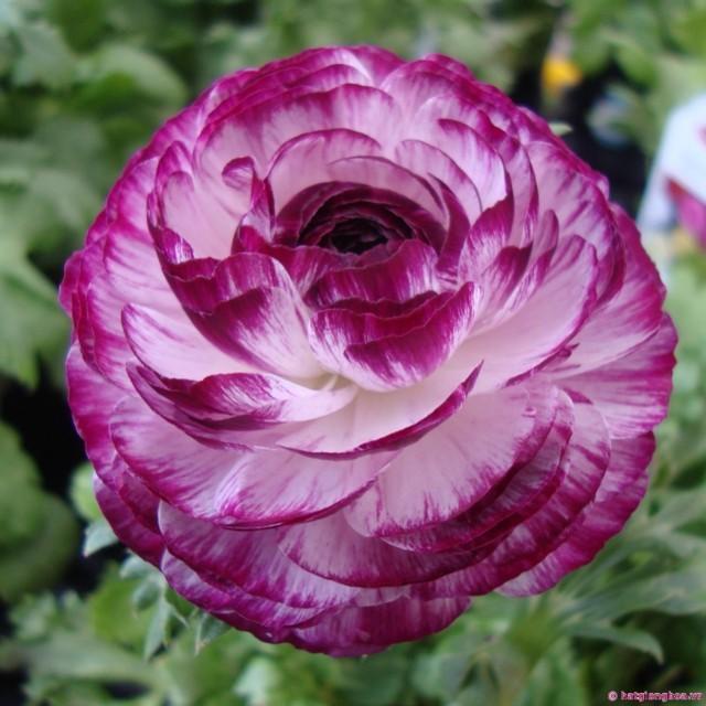 hoa mao lương màu tím đẹp nhất 3