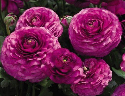 hoa mao lương màu tím đẹp nhất 4