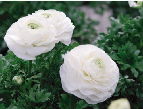 hoa mao lương màu trắng đẹp nhất 3