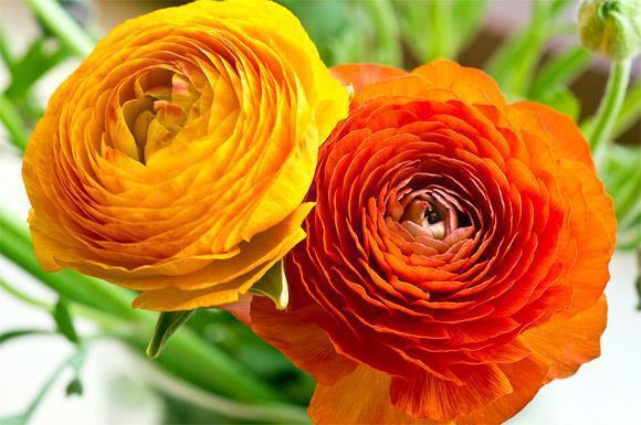 hoa mao lương màu vàng - cam 2
