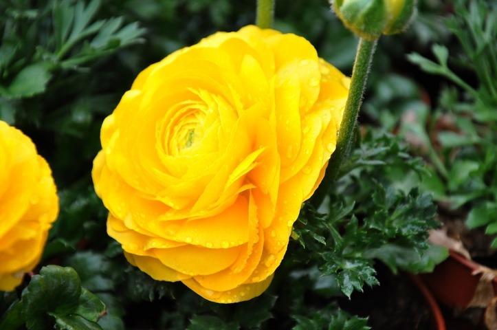hoa mao lương màu vàng - cam 3