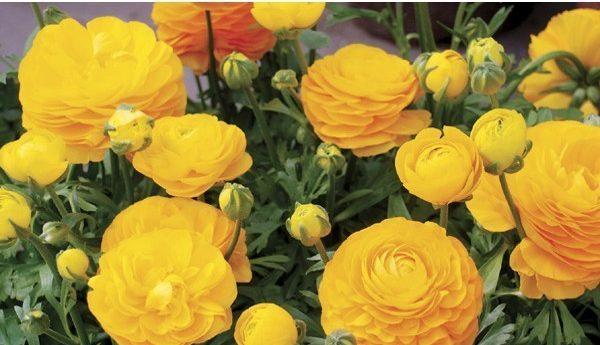 hoa mao lương màu vàng - cam 4