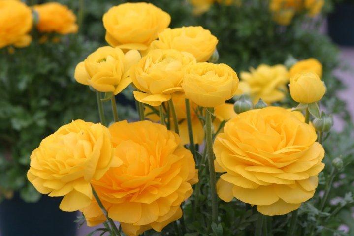 hoa mao lương màu vàng - cam 5
