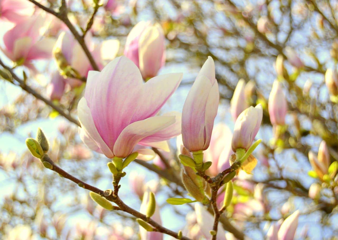 hoa mộc lan đẹp nhất 2019 1
