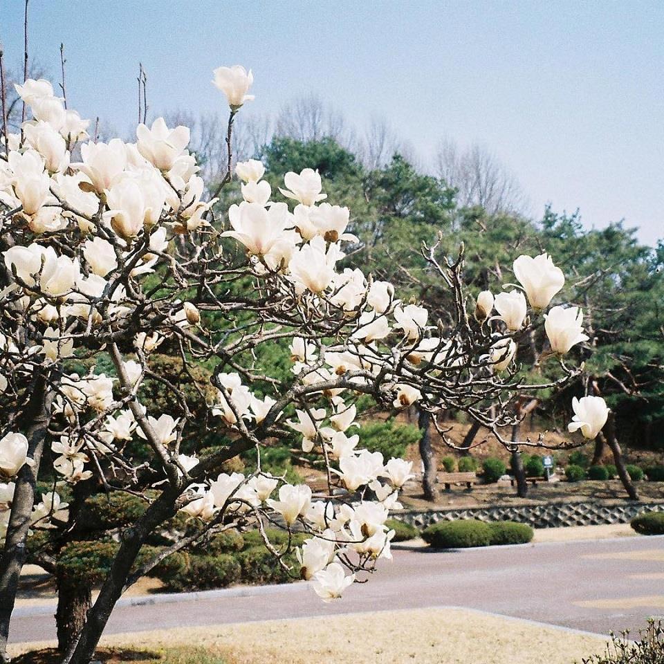 hoa mộc lan đẹp nhất 2019 4