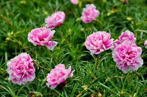 hoa mười giờ đẹp nhất 1