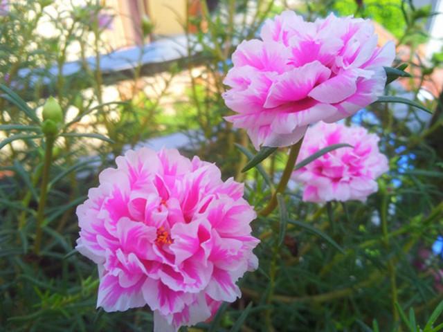 hoa mười giờ đẹp nhất 2