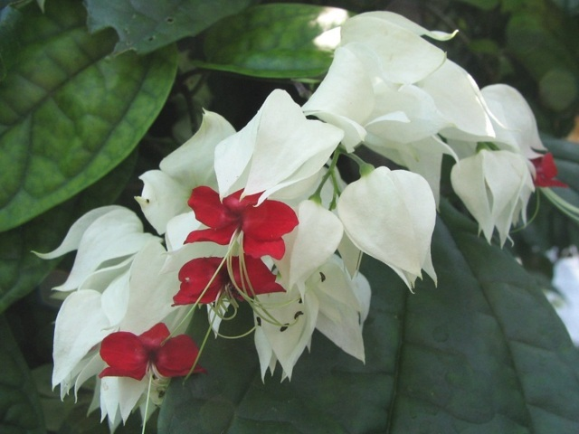 hoa ngọc nữ đẹp nhất 1
