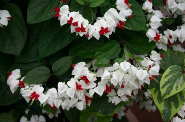 hoa ngọc nữ đẹp nhất 2