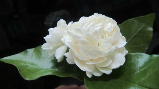 hoa nhài đẹp nhất 1