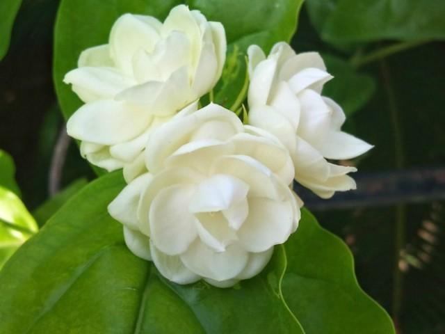 hoa nhài đẹp nhất 2