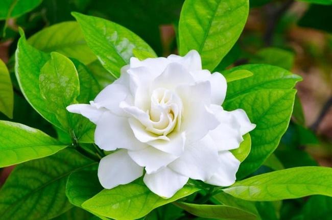 hoa nhài đẹp nhất 3