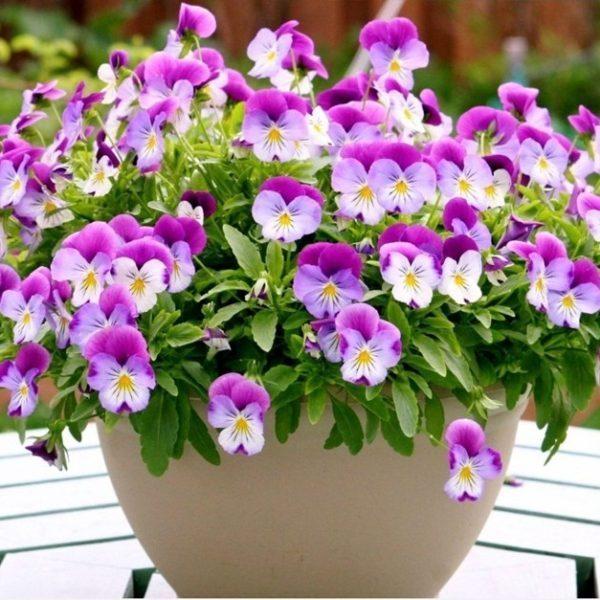 hoa păng xê đẹp nhất 1