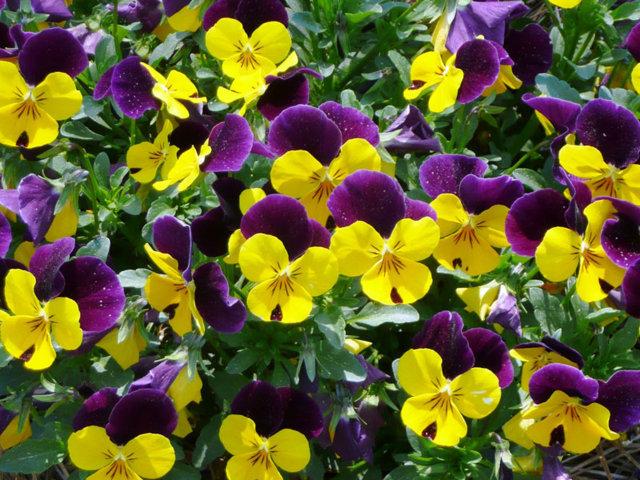 hoa păng xê đẹp nhất 2