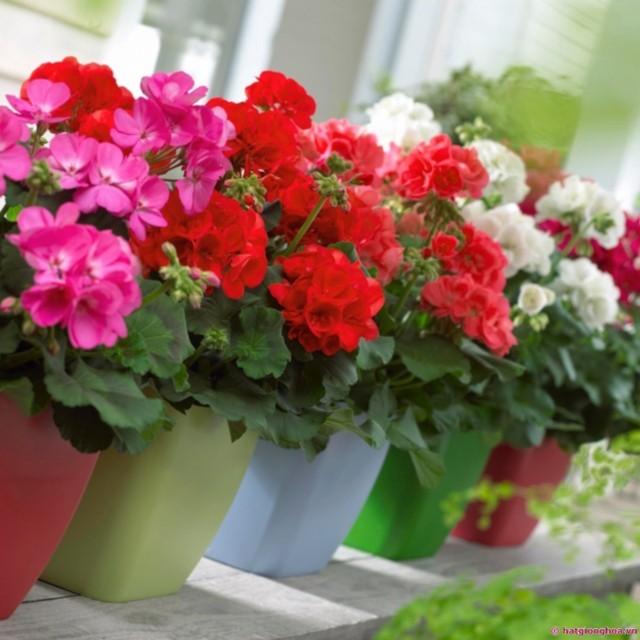 hoa phong lữ đẹp nhất 3