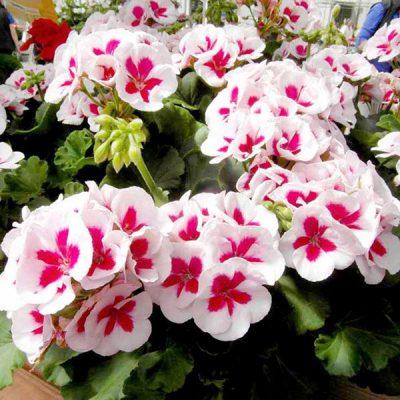 hoa phong lữ đẹp nhất 5