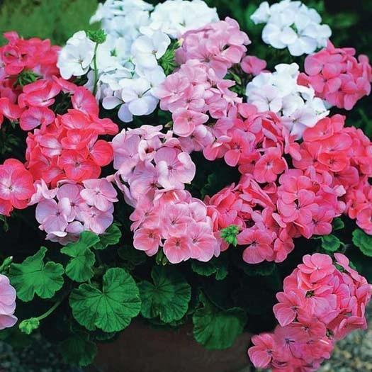 hoa phong lữ đẹp nhất 6