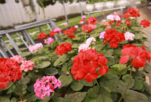hoa phong lữ đẹp nhất 8