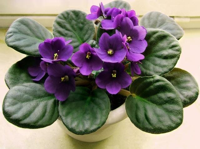 hoa violet đẹp nhất 1