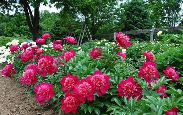 hình ảnh vườn hoa mẫu đơn 3