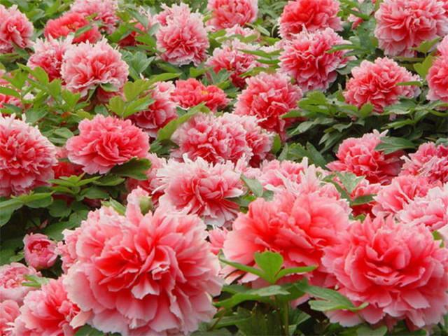 hình ảnh vườn hoa mẫu đơn 6