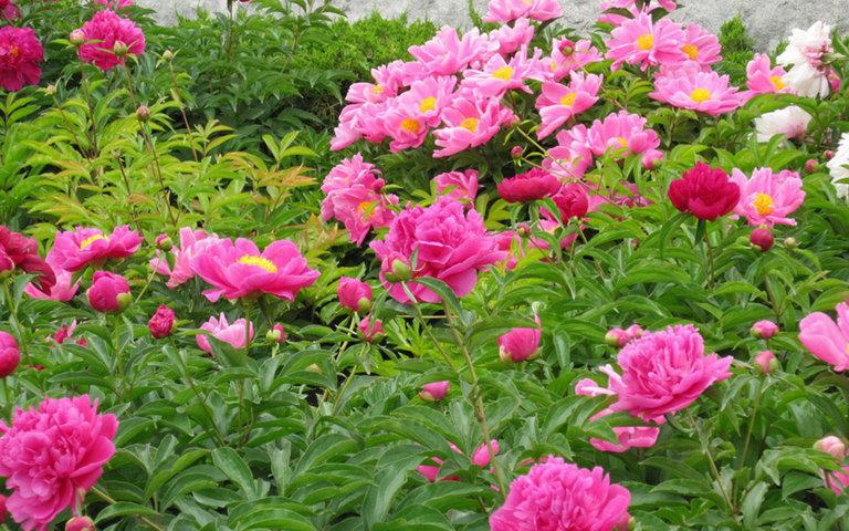 hình ảnh vườn hoa mẫu đơn 7
