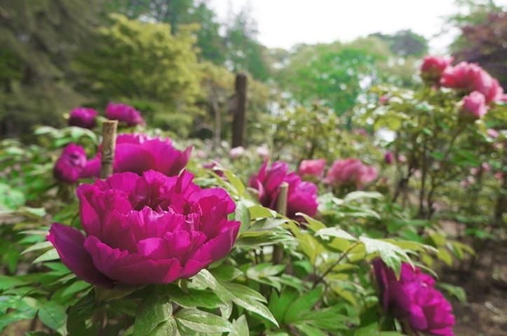hình ảnh vườn hoa mẫu đơn 9