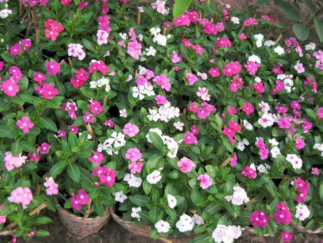 hoa dừa cạn đẹp và ý nghĩa nhất 1