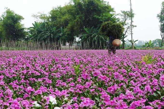 hoa dừa cạn đẹp và ý nghĩa nhất 3