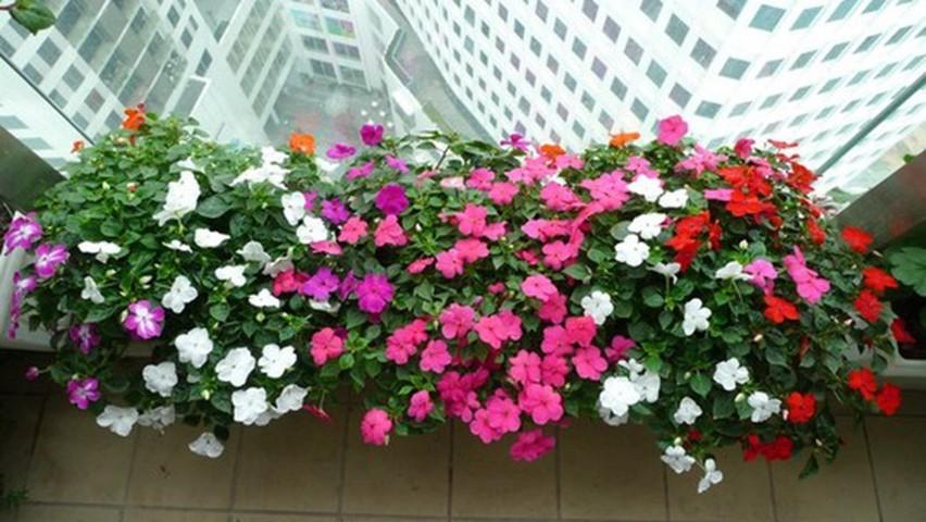 hoa dừa cạn đẹp và ý nghĩa nhất 4