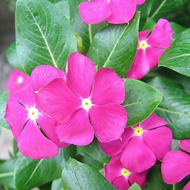 hoa dừa cạn đẹp và ý nghĩa nhất 5