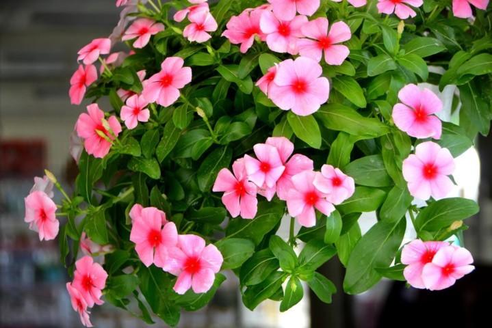hoa dừa cạn đẹp và ý nghĩa nhất 6