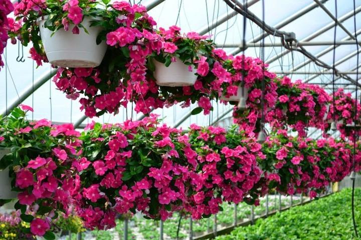 hoa dừa cạn đẹp và ý nghĩa nhất 8