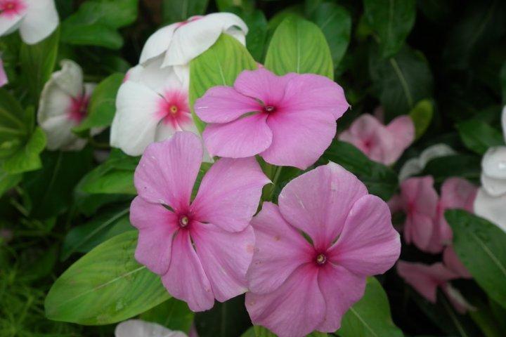 hoa dừa cạn đẹp và ý nghĩa nhất 9