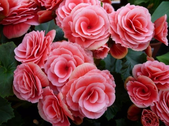 hoa hải đường đẹp nhất 11