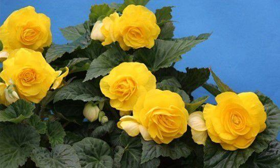 hoa hải đường đẹp nhất 4
